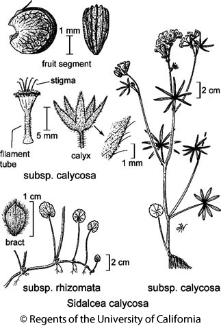 botanical illustration including Sidalcea calycosa subsp. calycosa