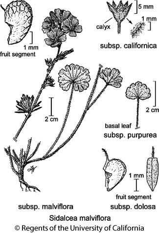 botanical illustration including Sidalcea malviflora subsp. dolosa