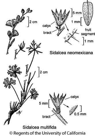 botanical illustration including Sidalcea multifida