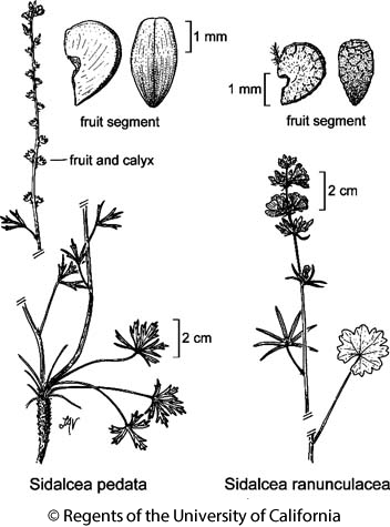 botanical illustration including Sidalcea ranunculacea