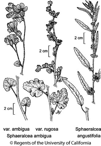 botanical illustration including Sphaeralcea ambigua var. ambigua