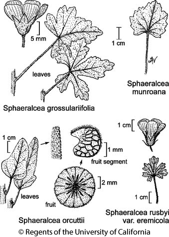botanical illustration including Sphaeralcea grossulariifolia