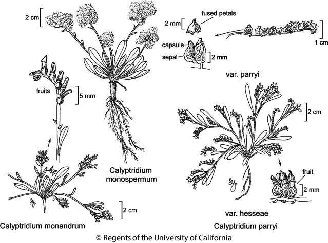 botanical illustration including Calyptridium parryi var. parryi