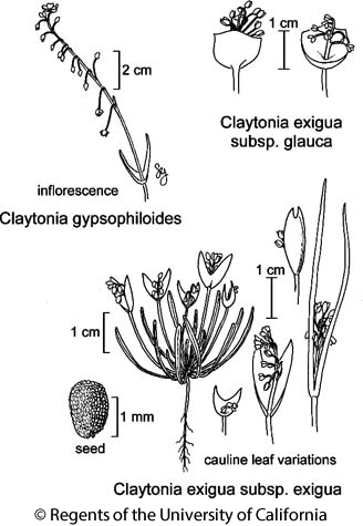 botanical illustration including Claytonia exigua subsp. exigua