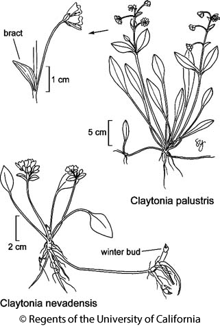 botanical illustration including Claytonia palustris