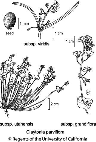 botanical illustration including Claytonia parviflora subsp. viridis