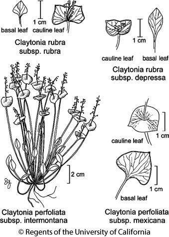 botanical illustration including Claytonia rubra subsp. rubra