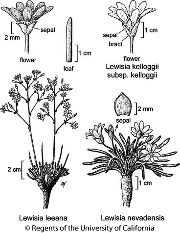 botanical illustration including Lewisia kelloggii subsp. kelloggii