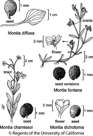 botanical illustration including Montia dichotoma