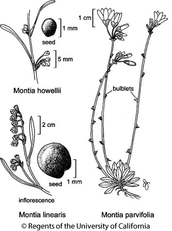 botanical illustration including Montia parvifolia