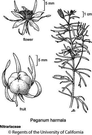 botanical illustration including Peganum harmala