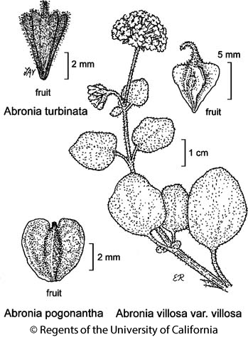 botanical illustration including Abronia turbinata