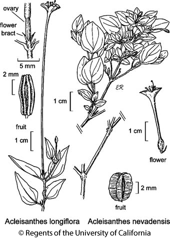 botanical illustration including Acleisanthes longiflora