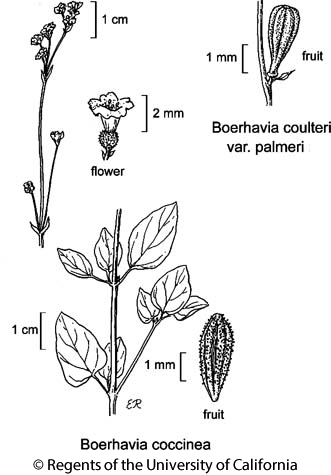 botanical illustration including Boerhavia coccinea