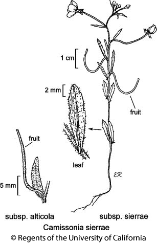 botanical illustration including Camissonia sierrae subsp. sierrae