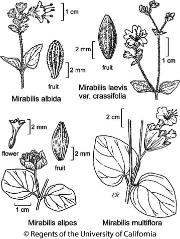 botanical illustration including Mirabilis laevis var. crassifolia