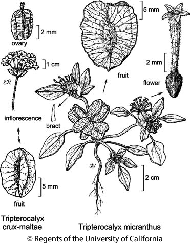 botanical illustration including Tripterocalyx micranthus