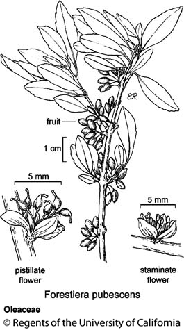 botanical illustration including Forestiera pubescens