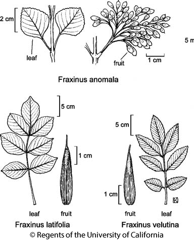 botanical illustration including Fraxinus latifolia