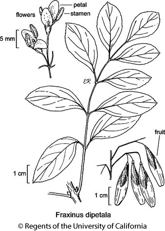 botanical illustration including Fraxinus dipetala