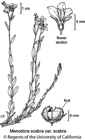 botanical illustration including Menodora scabra var. scabra