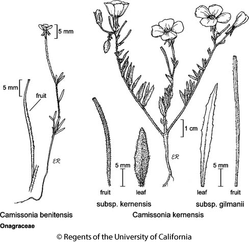 botanical illustration including Camissonia kernensis subsp. kernensis