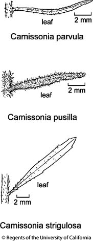 botanical illustration including Camissonia parvula