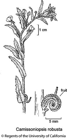 botanical illustration including Camissoniopsis robusta