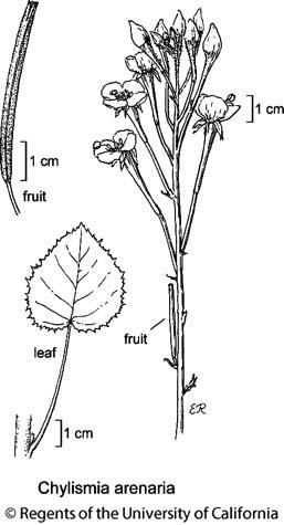 botanical illustration including Chylismia arenaria