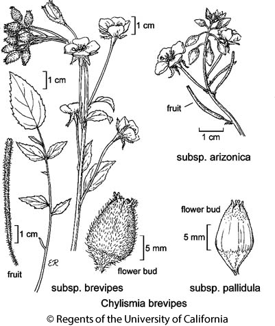 botanical illustration including Chylismia brevipes subsp. arizonica