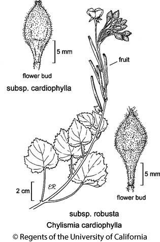 botanical illustration including Chylismia cardiophylla subsp. cardiophylla