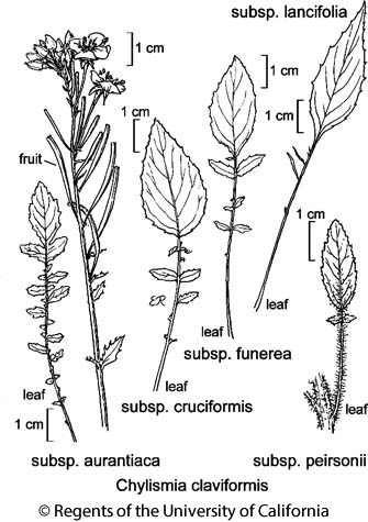 botanical illustration including Chylismia claviformis subsp. aurantiaca