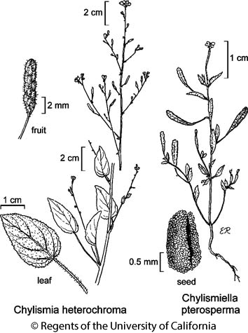 botanical illustration including Chylismiella pterosperma
