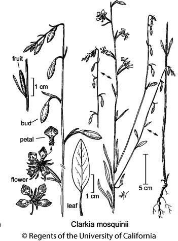 botanical illustration including Clarkia mosquinii