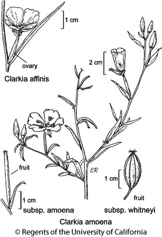 botanical illustration including Clarkia amoena subsp. amoena