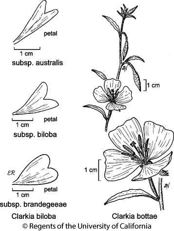 botanical illustration including Clarkia biloba subsp. brandegeeae