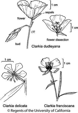 botanical illustration including Clarkia delicata