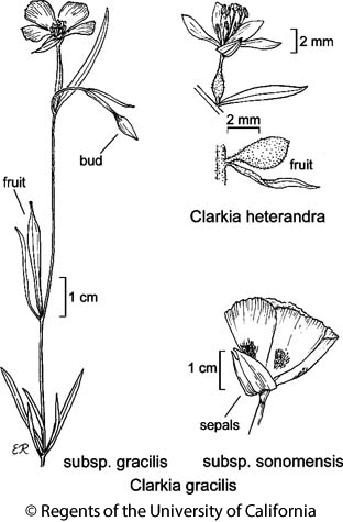 botanical illustration including Clarkia gracilis subsp. sonomensis