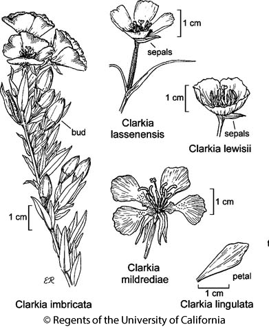 botanical illustration including Clarkia lassenensis