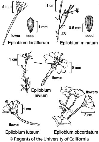 botanical illustration including Epilobium obcordatum