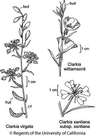 botanical illustration including Clarkia virgata