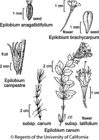 botanical illustration including Epilobium canum subsp. canum