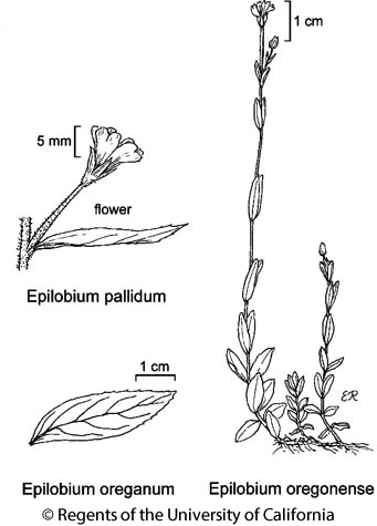 botanical illustration including Epilobium oreganum
