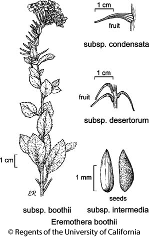 botanical illustration including Eremothera boothii subsp. desertorum