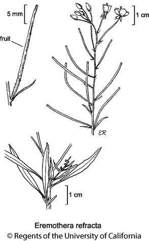 botanical illustration including Eremothera refracta