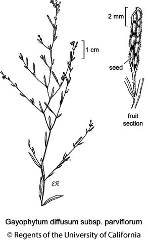 botanical illustration including Gayophytum diffusum subsp. parviflorum