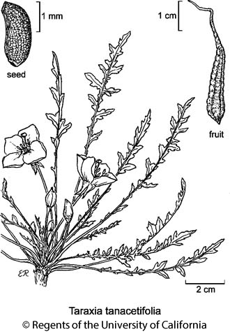 botanical illustration including Taraxia tanacetifolia