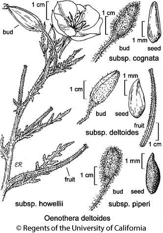botanical illustration including Oenothera deltoides subsp. deltoides