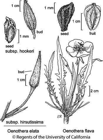 botanical illustration including Oenothera elata subsp. hirsutissima