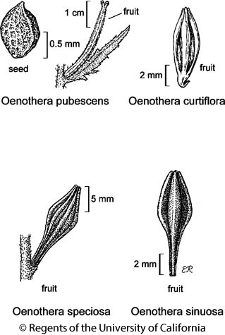 botanical illustration including Oenothera sinuosa